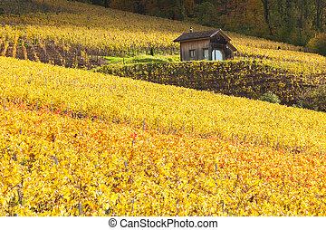 vigne, in, lavaux, regione, -, terrasse, de, lavaux, svizzera