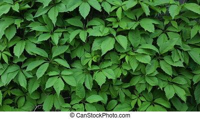 vigne, pousse feuilles, décoratif, barrière