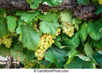 vigne, raisin, tas
