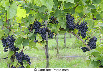 vigne, raisins