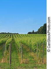 vigne, rangées