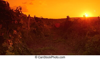 vignoble, été, coucher soleil, paysage