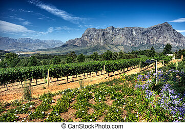 vignoble, afrique, stellenbosch, sud