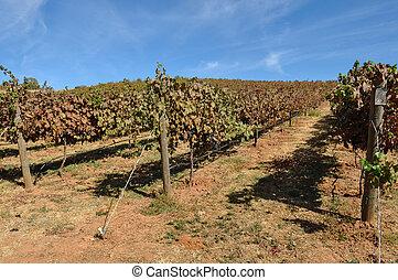 vignoble, automne