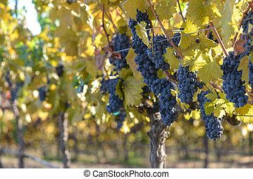 vignoble, automne, raisin