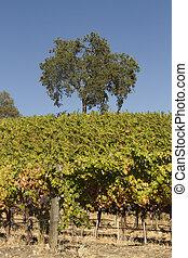 vignoble, californie, scène