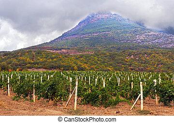 vignoble, champ, montagne