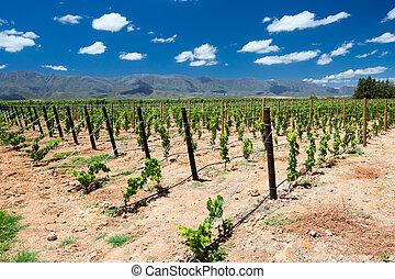 vignoble, dans, cap, afrique sud