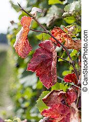 vignoble, feuilles automne, vigne, clolorful