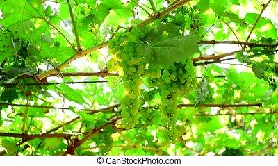 vignoble, naturel, raisins verts, gros plan, crop., fond