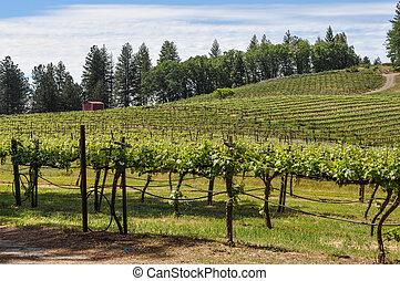 vignoble, printemps, californie