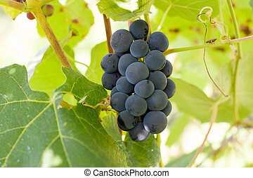 vignoble, raisin