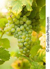 vignoble, raisins blancs, vin
