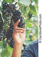 vignoble, raisins, main