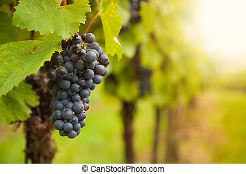 vignoble, raisins rouges, vin