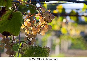 vignoble, raisins, tas