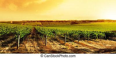 vignoble, surprenant, coucher soleil