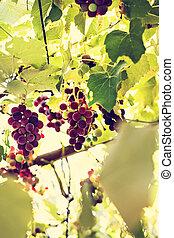 vignoble, tas, raisins
