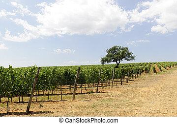 vignoble, (tuscany), maremma