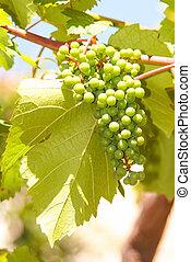 vignoble, vert, vigne, raisins, pendre