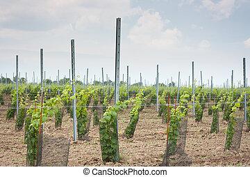 vignoble, vigne, raisin, croissant