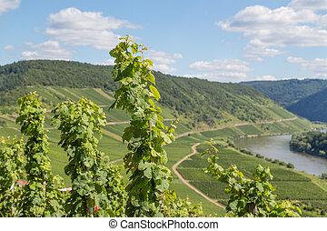 vignobles, rivière, allemagne, long, moselle