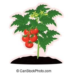 Vigorous tomato - Tomato bush with fruits and flowers