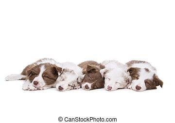 vijf, collie van de grens, puppy, honden, in een rij