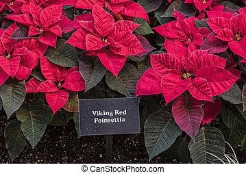 Viking Red Poinsettia