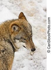vild, forrest, ulv