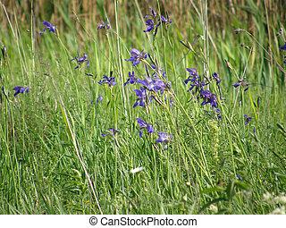 vild, irises., fjäder, flowers.