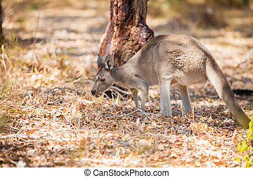 vild, känguru, äta