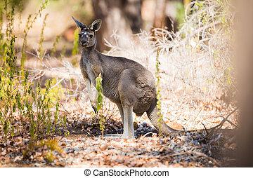 vild, känguru, en
