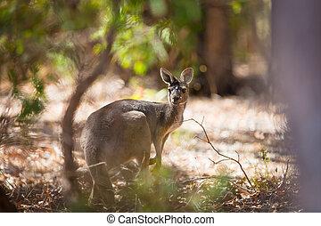 vild, känguru, ung