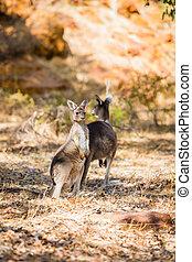 vild, kängurur, två