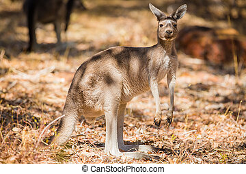 vild, nära, känguru, uppe