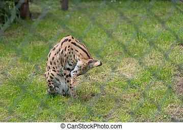 vild, rovdjur, djur, serval, -