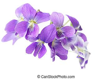 vild, violet blomstrer