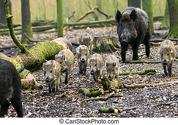 vilde boars, flytte