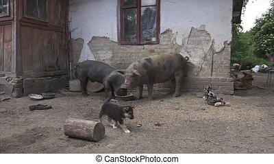 Village concept. Hd Chaos Sanitation Dirty Pigs German...