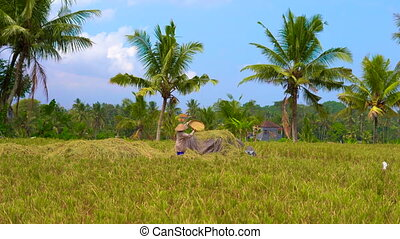 village people process raw rice in a field with a pals at a background