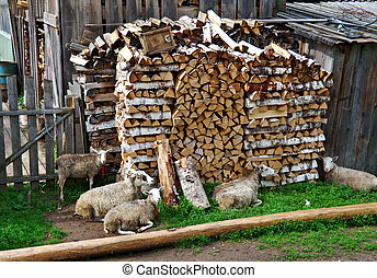 village sheep. Russian North