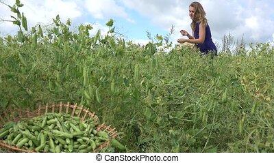 Villager woman girl pick ripe peas pods to wicker basket. Focus change. 4K