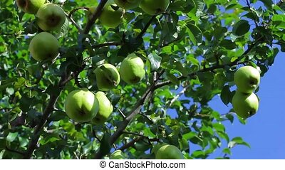 Villagers tear pears. Harvesting fruit. Pear garden. Organic...