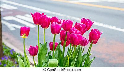 ville, city., tulipes, barbouillage, ensoleillé, arrière-plan., rue, york, printemps, nouveau jour, rouges
