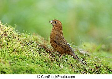 Vinaceous Rosefinch, female bird, Lichens, Green background...