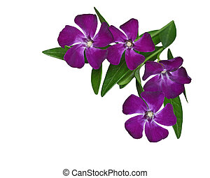 Vinca Minor perwinkle Flower isolated on white background