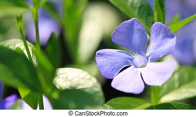 Vinca minor flowers blossom in the garden