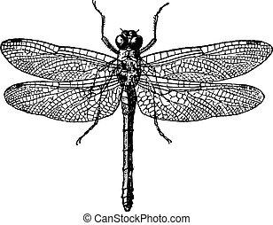 vindima, 1., libélulas, figo, engraving.