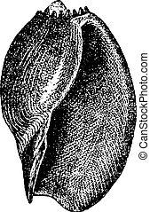 vindima, aethiopica, volute, voluta, ou, engraving.